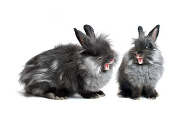 Rabbit isolated I