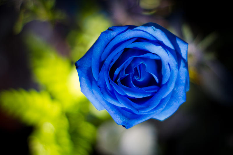 Blue Rose by icebiker