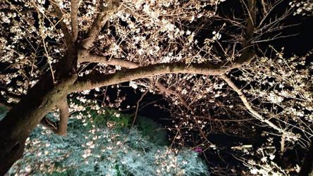 Kokyo Gaien National Garden 2019 0331-5 by agekei