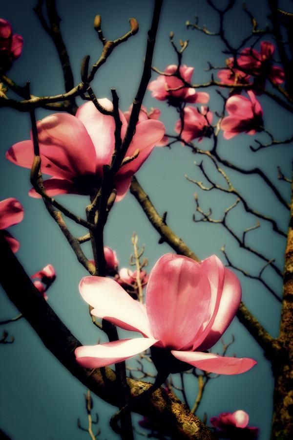 Dream Magnolias by nectar666