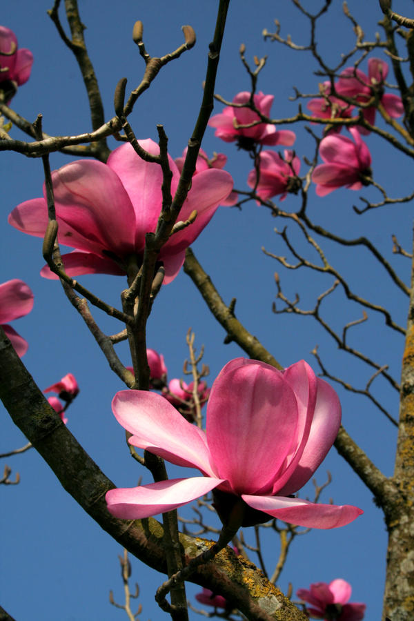 Magnolia by nectar666