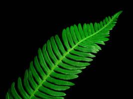 Green Fern by nectar666