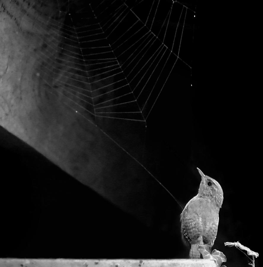 Wren 'n' Web by nectar666