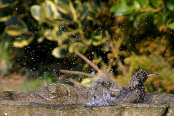 Starling taking a bath by nectar666