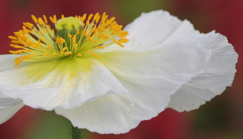 White Poppy by nectar666