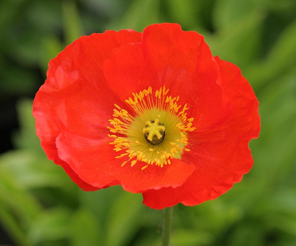 Red Poppy by nectar666