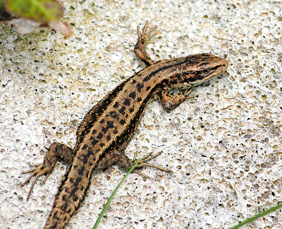 Lizard by nectar666