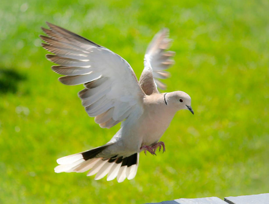 Dove by nectar666