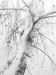 Birch in Snow I by DChernov