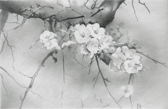 Apricot Tree in Blossom