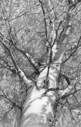 Autumn Birch by DChernov