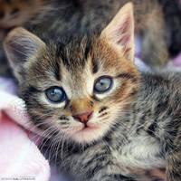Hypnotized Kitty by ZoranPhoto