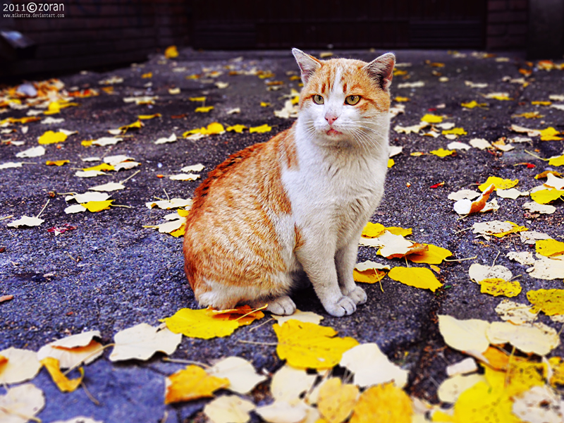 Autumn cat by ZoranPhoto