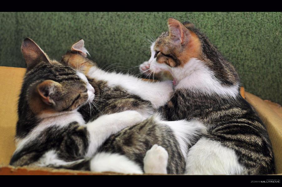 Kitten Fight - Revenge of the Fallen by ZoranPhoto