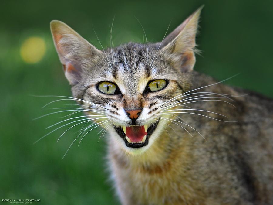 El Gato Diablo by ZoranPhoto