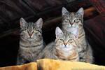 Three Whiskerteers