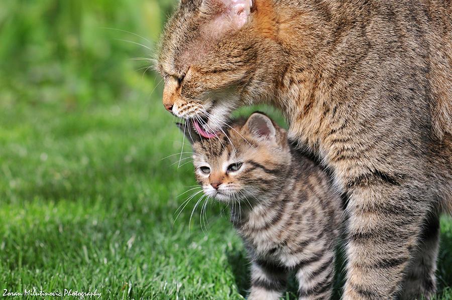 Кошки (Cats) - Page 2 Bath_time__mother_s_love__by_zoranphoto-d645yai