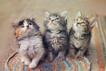 The Furry Gang