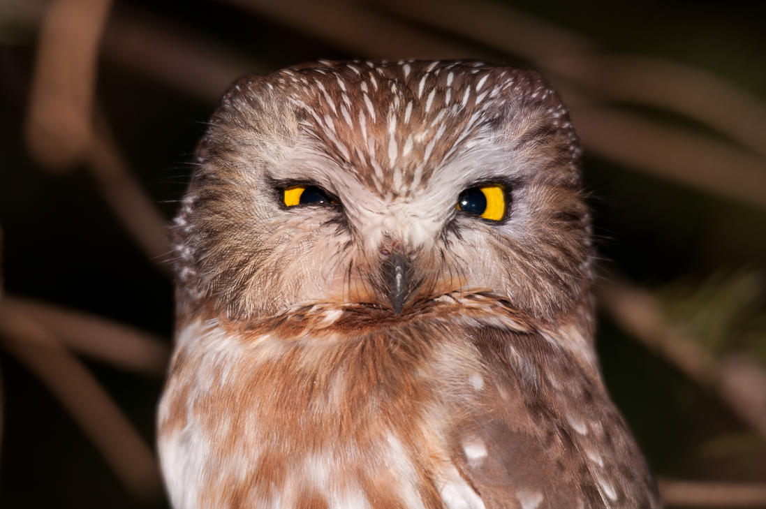 Northern Saw-whet Owl ...