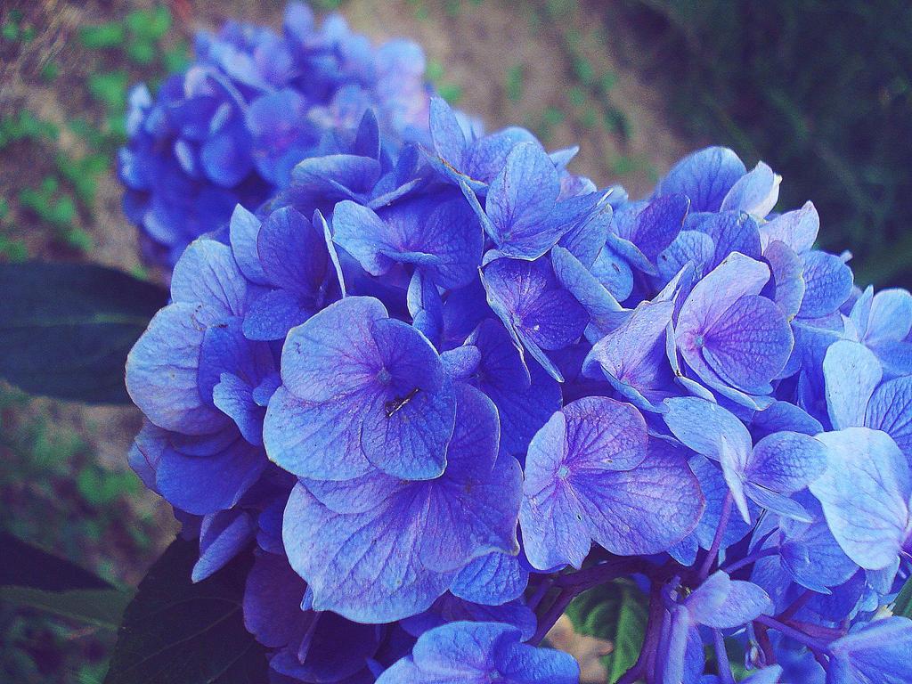Purple And Blue Flowers Art Olivero