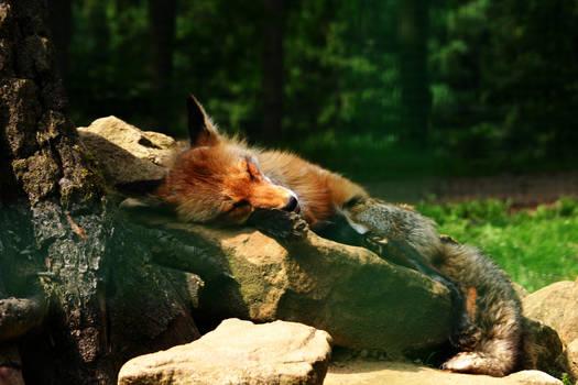 sleeping fox stock image
