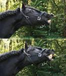 flehmender Friese - frisian horse