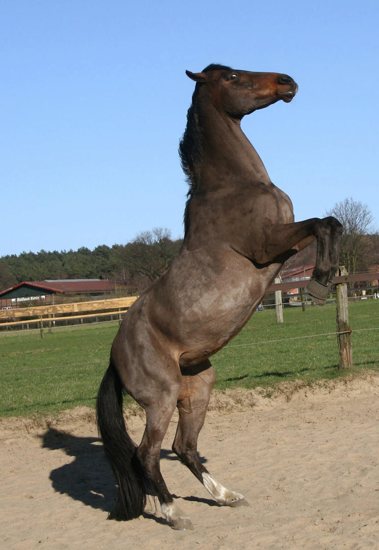 warmblood mare rearing 03 by Nexu4