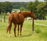 chestnut horse back looking...
