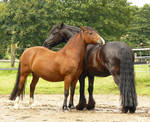 friends - friesian and bay welsh 01