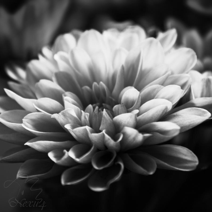Black To Black Flowers 4: Chrysanthemum Flower Black And White By Nexu4 On DeviantArt