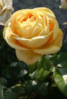 .. yellow rose flower .. by Nexu4