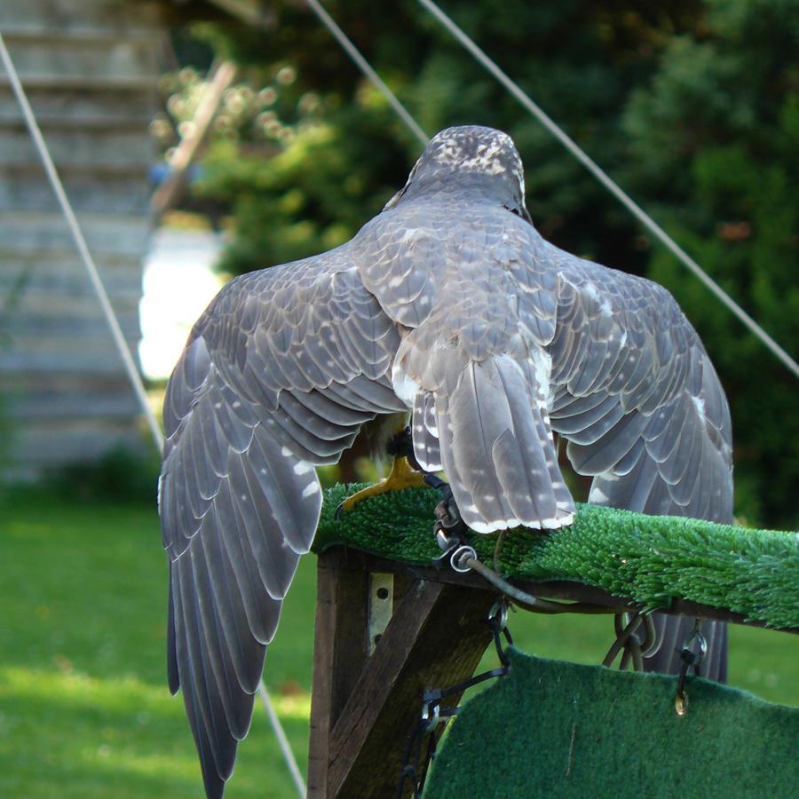 stock - wings falcon back by Nexu4