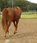 stock chestnut horse walking away 01