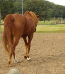 stock chestnut horse walking away 01