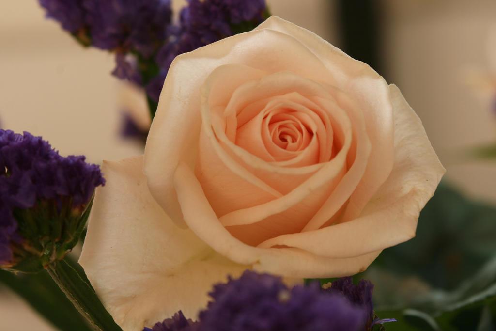Stock cream rose flower by nexu4 on deviantart for Cream rose wallpaper