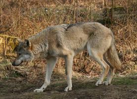 wolf stock 03 by Nexu4