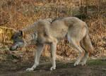 wolf stock 03