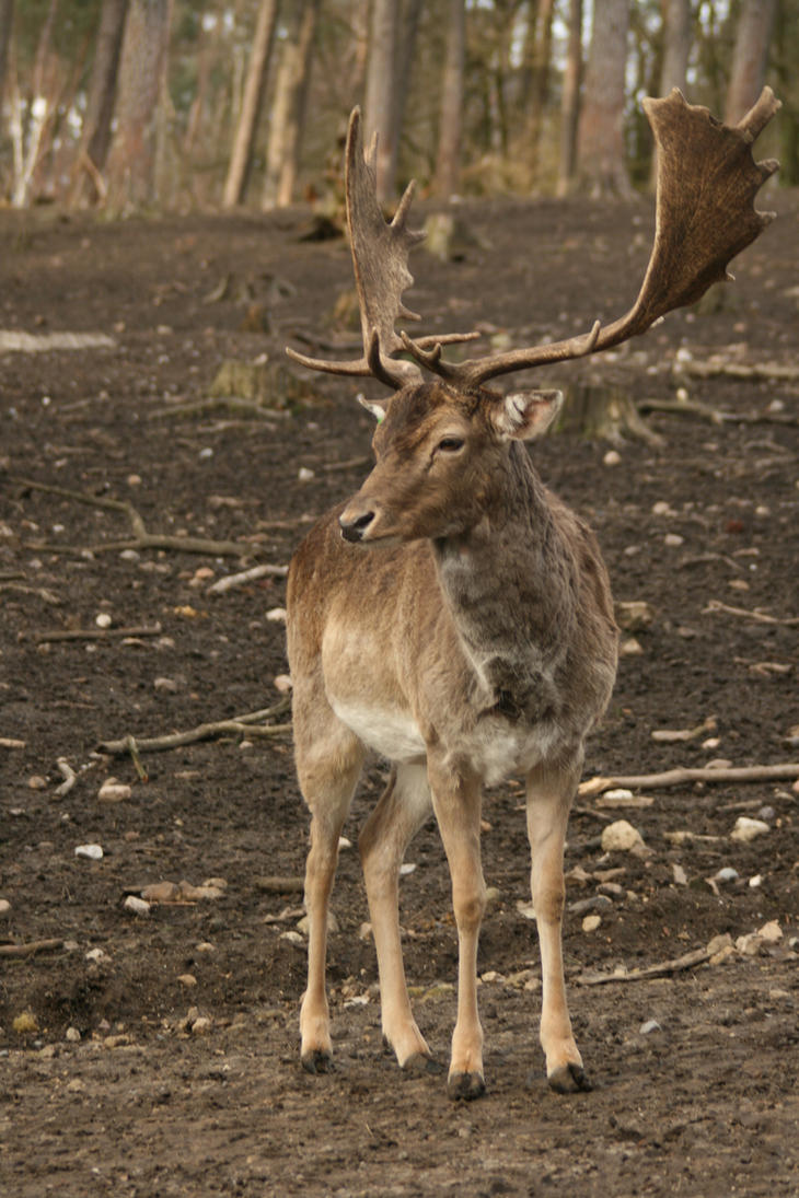 fallow deer stock 01 Damwild Hirsch by Nexu4