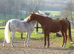 old chestnut warmblood  and andalusian friend