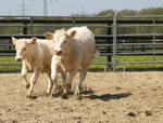 two young white calves running