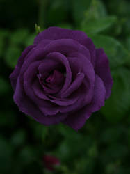dark purple rose 01 by Nexu4