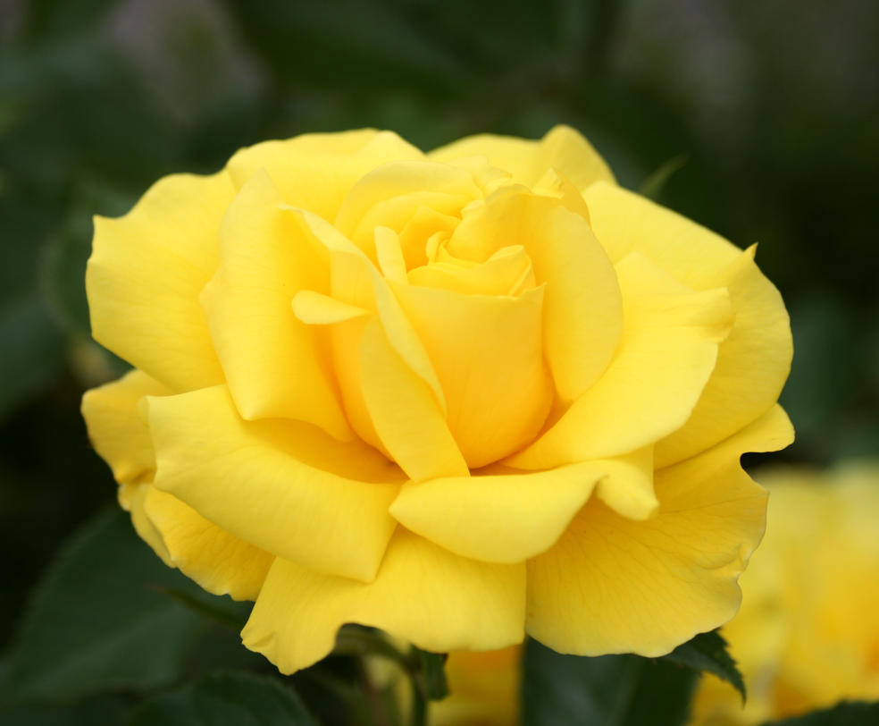 yellow garden rose july by Nexu4 on DeviantArt