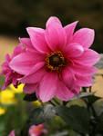 Dahlia flower by Nexu4