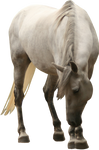 white mare looking to the ground precut png