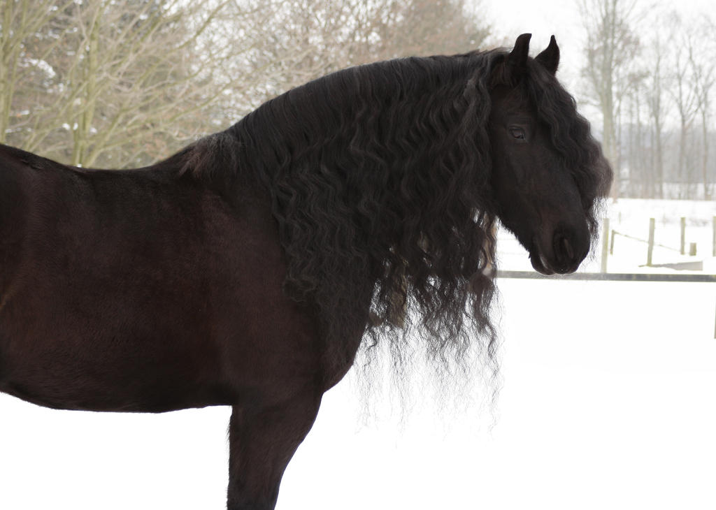 black horse friesian janosch winter by Nexu4