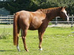 chestnut horse standing and looking