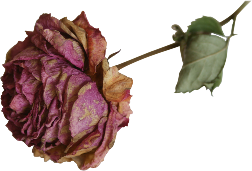 dried flower rose precut png by Nexu4