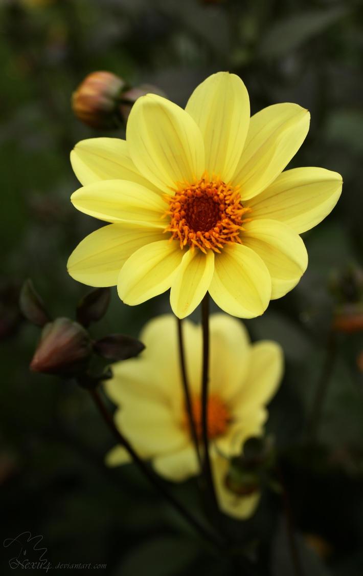 Yellow Dahlia Flower By Nexu4 On Deviantart