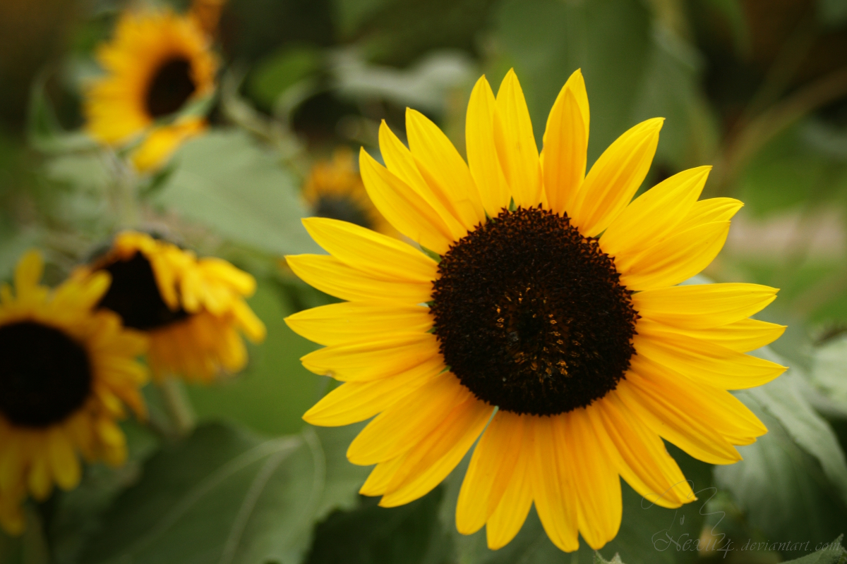 Sonnenblume - sunflower helianthus by Nexu4