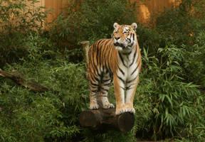 tiger standing 02 by Nexu4